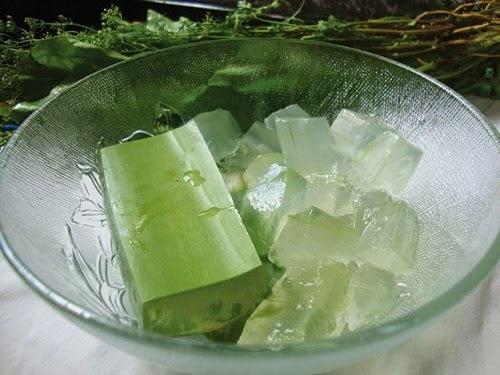 Cây lô hội nha đam chữa bệnh dạ dày và đường tiêu hóa 1