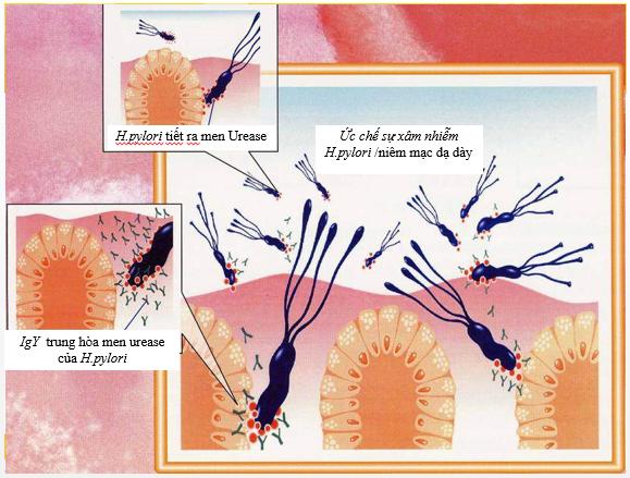 """Kháng thể OvalgenHP – """"vũ khí"""" mới cho vi khuẩn Hp kháng thuốc 1"""