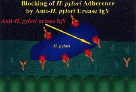 Cơ chế xâm nhiễm và tồn tại dai dẳng của vi khuẩn Hp trong dạ dày 2