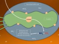 Vi khuẩn HP sống được bao lâu trong và ngoài môi trường dạ dày?