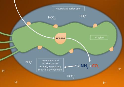 Vi khuẩn HP sống được bao lâu trong và ngoài môi trường dạ dày? 1